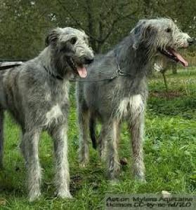 Irish wolfhound irský pes velký pes z irska